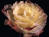 Rose9_moresmall.jpg
